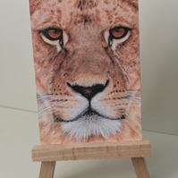 "ACEO Print - Lion - ""Look into my eyes"""