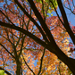 autumn leaves, black trunk