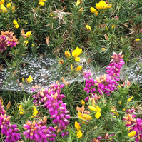 web on heather and gorse