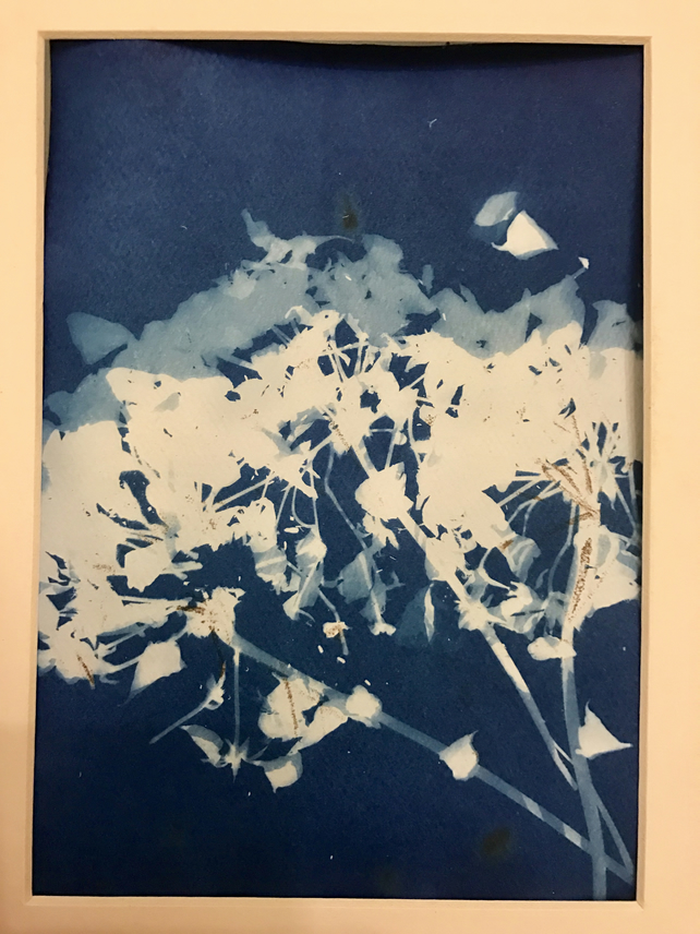 Riverbank flower cyanotype sunography 6