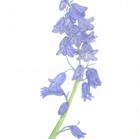 Pastel Bluebells, giclee print of blue spring flowers, woodland flowers