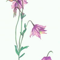 Columbine, flower giclee print of pink wild flowers, Aquilegia, Granny's bonnet