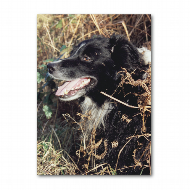 A5 Dog Farm Animal Border Collie Sheepdog Mother's Day Card (F263)