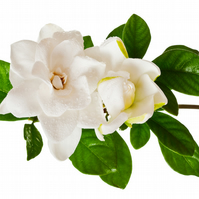 Gardenia Fragrance Oil 10 ml for Diffusers, Candles, Pot Pourri  & Soap