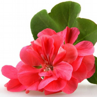 Geranium Fragrance Oil 10 ml for Diffusers, Candles, Pot Pourri  & Soap