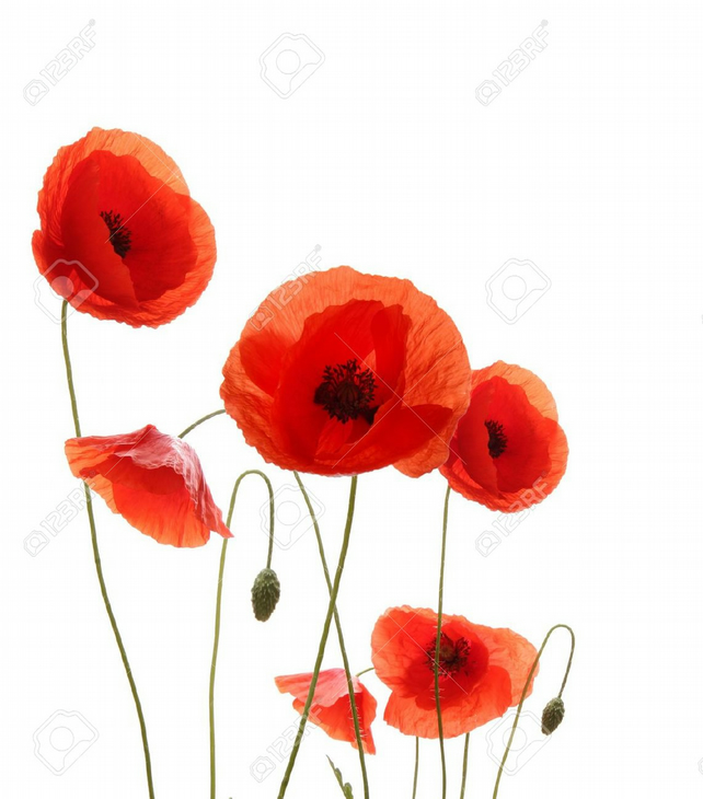 Poppy Fragrance Oil 10 ml for Diffusers, Candles, Pot Pourri  & Soapi