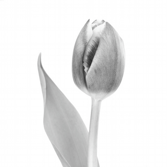 Black and white tulip print, monochrome wall art, botanical home decor