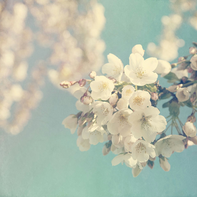 Blossom photograph, spring blossom print, turquoise cream wall art
