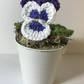 Purple and White Pansy