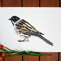 A5 Reed Bunting Painting Print - Bird Illustration