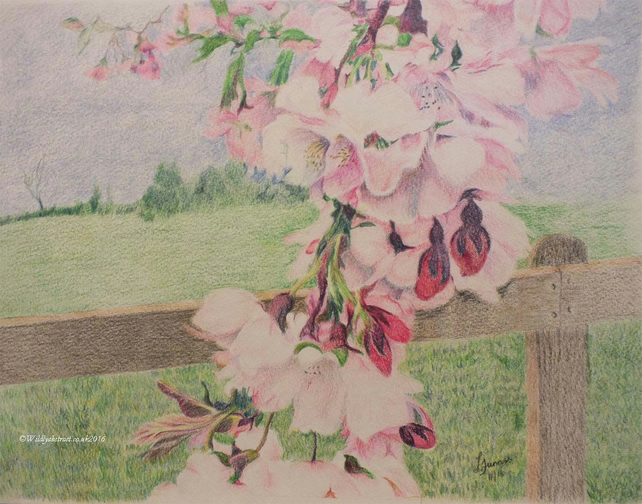 Cascades of pink - coloured pencil cherry blossoms