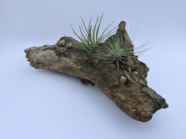 Driftwood creation with live air plants