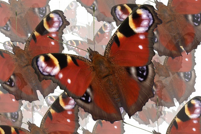 Butterfly Butterfly A4 Colour Digital Art Print