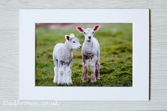 Spring lambs photographic print