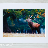 Red deer stag, Windsor, photographic print