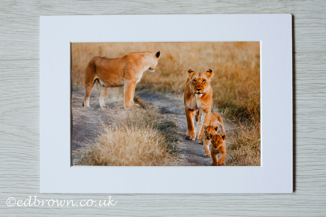 Lioness & cubs, Kenya photographic print