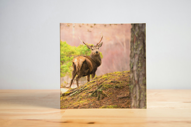Scottish Stag Greetings Card