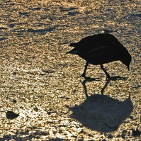 A4 photograph print of moorhen on ice