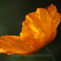 Welsh Poppy - print