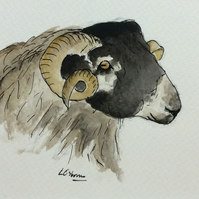 Blackface Sheep - signed print of pen, ink and watercolour illustration