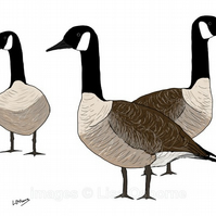Canada Geese - signed print from illustration of birds. Wildfowl.