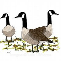 Canada Geese - A4 signed print from illustration of birds