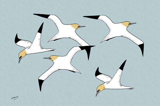 Gannets - signed print of birds from illustration