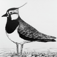 Lapwing - pen and ink drawing