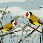 Goldfinches. Print from digital illustration. Garden birds.