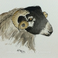 Blackface Sheep. Signed print. Illustration. Farm animals