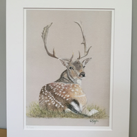 Limited Edition Giclee Print of Recumbent Fallow Deer