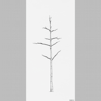 Silver Birch Pen Drawing Limited Edition giclee print