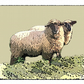 "Pet sheep portrait print 10""x12"""