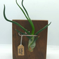 Sapele Wood Air Plant Display(includes plant)