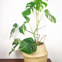 Variegated Monstera Deliciosa Mature Adult Tropical House Plant