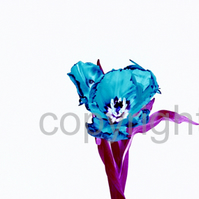 Limited Editon Blue Tulip Flower (UK59819p)