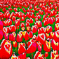 Tulip Field, Beautiful Greeting Card, Mother's Day, Birthday Card, Tulips