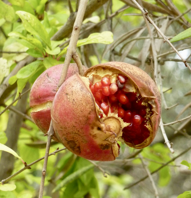 Pomegranate on the tree  Photo Art Card
