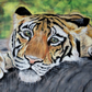 Medium - Tiger Picture - Tiger Wall art - Tiger Print - Big Cat Art - Tiger Gift