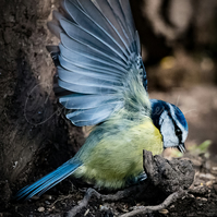 "Blue Tit in a Flap!  Mounted 7"" x 5"" Photographic Print"