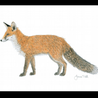 RED FOX PROWLING - Wildlife Greetings Card - Blank Inside