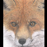 RED FOX 'CLOSE UP' - Wildlife Greetings Card - Blank Inside
