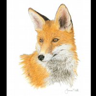 BRITISH RED FOX - Wildlife Greetings Card - Blank Inside