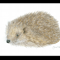 HEDGEHOG - Wildlife Greetings Card - Blank Inside