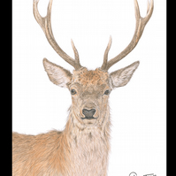 RED DEER STAG  - Wildlife Greetings Card - Blank Inside
