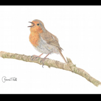 SINGING ROBIN - Wildlife Bird Greetings Card - Blank Inside