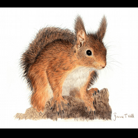 RED SQUIRREL - Wildlife Greetings Card - Blank Inside
