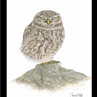 LITTLE OWL  - Wildlife Greetings Card - Blank Inside