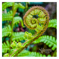 Greeting Card - Fern Unfurling
