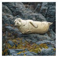 Greeting Card - Young Seal